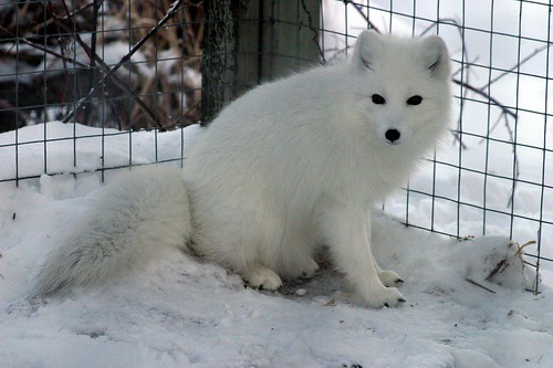 Renard Arctique / Artic Fox