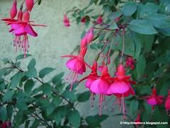 flower, plant, flora, fuchsia, pink,