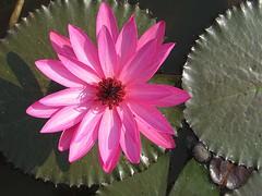 Flowers - Lotus