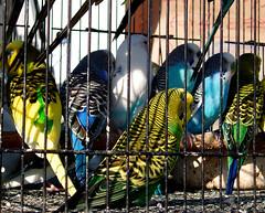 swapmeet parakeets
