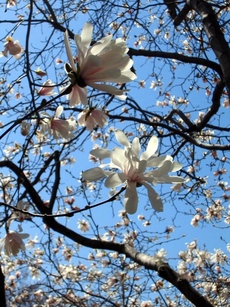 magnolias_closeup