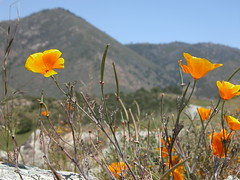 prairie, eschscholzia californica, flower, leaf, yellow, nature, wildflower, flora, natural environment, meadow, grassland, poppy,