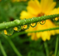 Yellow flowers in raindrops 1