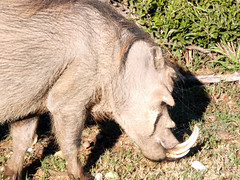 domestic pig(0.0), animal(1.0), pig(1.0), fauna(1.0), pig-like mammal(1.0), warthog(1.0), wildlife(1.0),