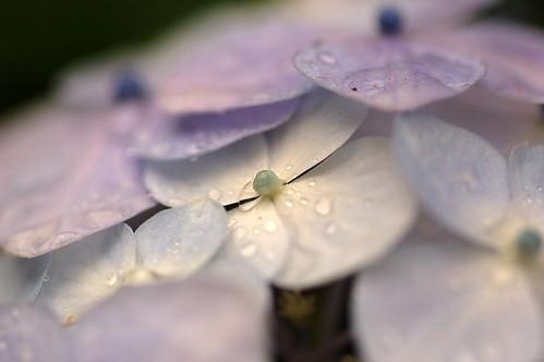 Again,,, hydrangea,