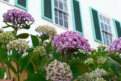 hydrangea(1.0), lilac(1.0), shrub(1.0), flower(1.0), garden(1.0), plant(1.0), lilac(1.0), floristry(1.0),