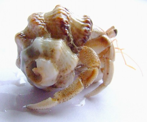 Hermit crab in a murex shell