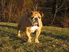 dog breed, animal, dog, old english bulldog, olde english bulldogge, guard dog, carnivoran, bulldog, bullmastiff,