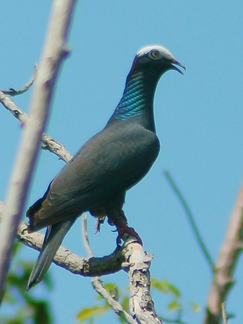White crowned pigeon - photo#52