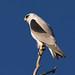 Black-shouldered kite 3 / Australian Kite