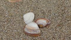 animal(0.0), snail(0.0), fauna(0.0), conch(0.0), sea snail(1.0), clam(1.0), molluscs(1.0), sand(1.0), seashell(1.0), cockle(1.0),