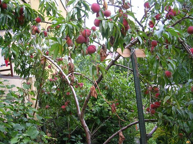 peach tree | Flickr - Photo Sharing!: www.flickr.com/photos/tprzechlewski/229386260