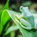 Lemur Leaf Frog by kevolution15