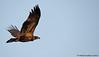 Bald Eagle - Pygargue à tête blanche (IMG_6320-1S-20150828) by Michel Sansfacon