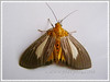 Asota heliconia (Aganaids, Tropical Tiger Moth, Snouted Tiger Moth)