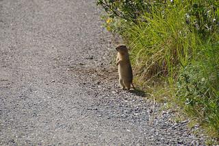 078 Arctische grondeekhoorn