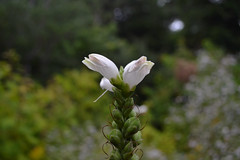 White Turtlehead