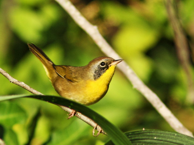 Common Yellowthroat sub-adult male 4-20151007