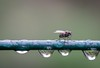 A fly and some drops by Robert Körner