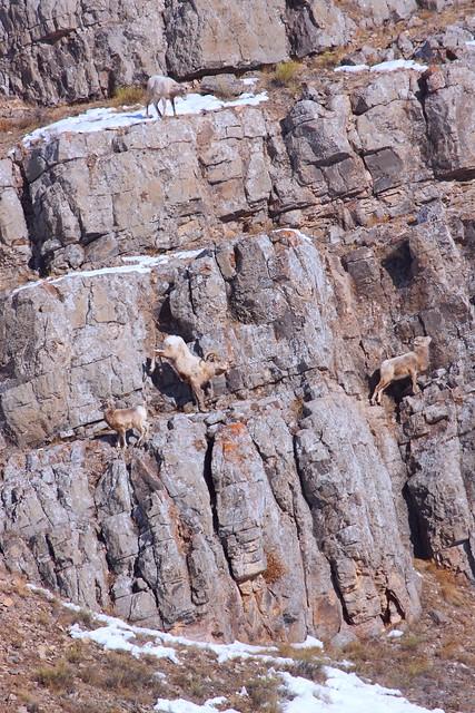 IMG_8892 Bighorn Sheep