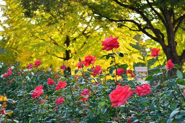 秋のバラ Autumn rose