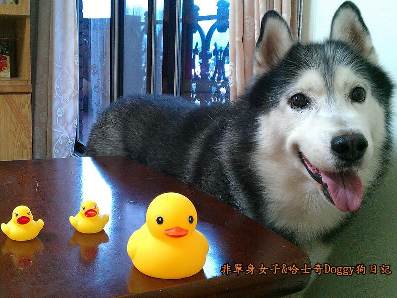 哈士奇doggy與啾啾玩具黃色小鴨01