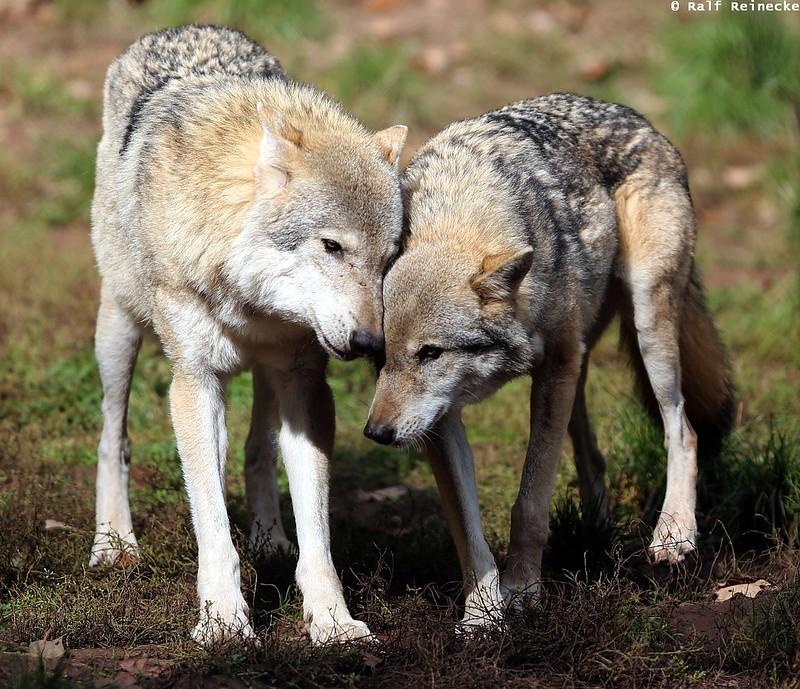 Eurasian Wolf - Wildpark Tripsdrill October 2015 08