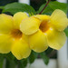 Small photo of allamanda
