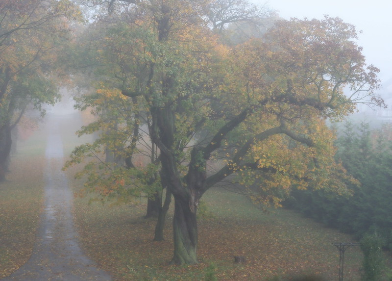 The Maple Avenue in Fog