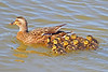 Mallard Duck and Ducklings 15-0508-1911 by digitalmarbles