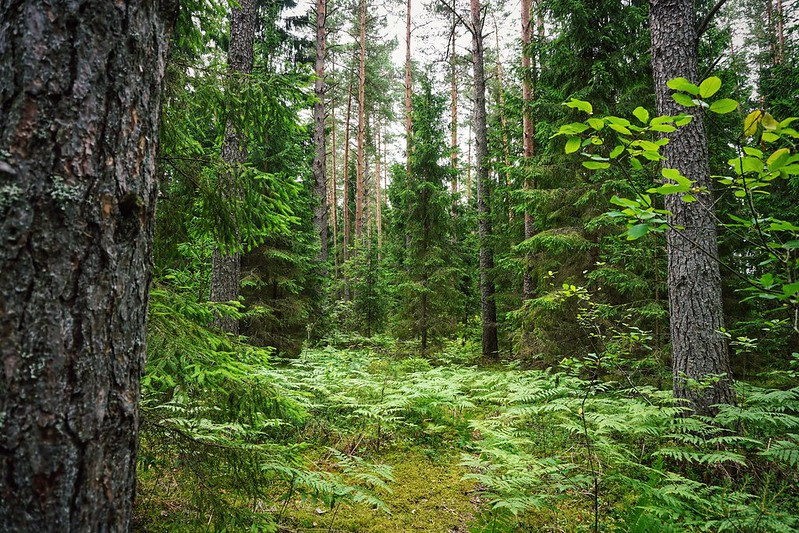 Green trees in a Latvian forest