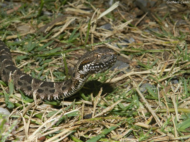 Yara (Bothrops pubescens)