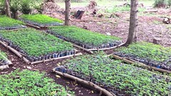 Moringa nursery at Fise 1