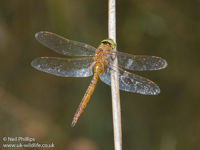 Norfolk hawker 2