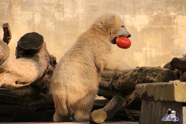 Eisbär Fiete im Zoo Rostock 26.09.2015   0365
