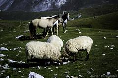 Las ovejas y los caballos