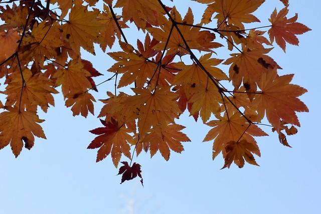 Acer Japonicum