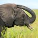 Tanzania, Mara, Serengeti National Park, african elephant (loxodonta africana) by Eric Lafforgue
