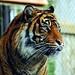 tiger by pics by paula