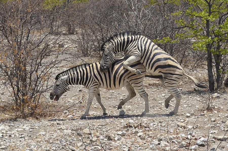 Zebras Mating Jairamchander Pingle Flickr
