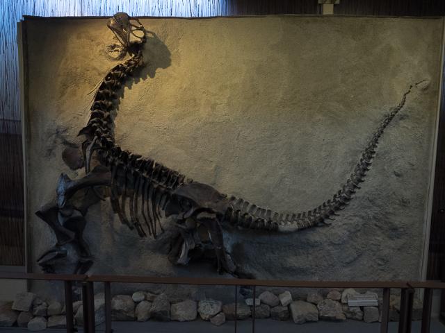 Young Camarasaurus Lentus