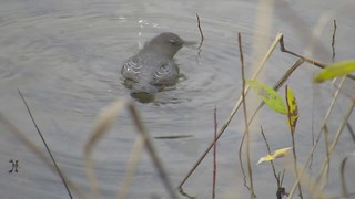American Dipper, Chinook Bend, Snoqualmie Valley, WA 11/25/15