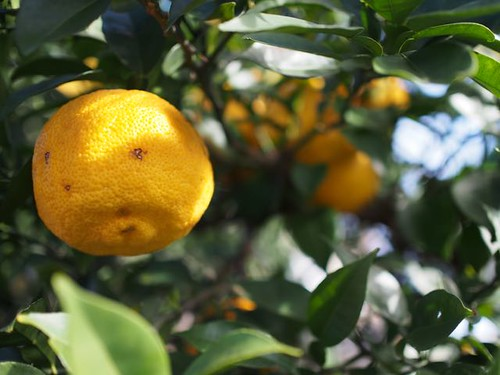 harvesting-citron-at-musashino-1