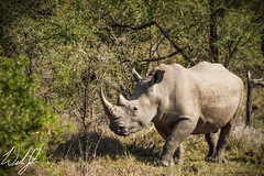 Square-lipped Rhino- Kruger National Park, South Africa