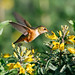 Small photo of Allen's Hummingbird (Selasphorus sasin)