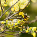 IMG_7000  Cape May Warbler