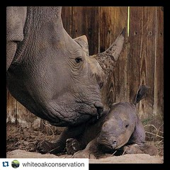 Because everyone needs to see a baby rhino first thing in the morning. Here's a cute photo from one of our partners, the White Oak Conservation Center. #Repost @whiteoakconservation ・・・ One more...because you can never get enough of a baby rhino... #teamr