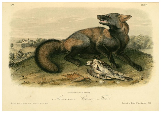 003- Zorro americano-The quadrupeds of North América-Vol1- 1849- J.J. Audubon-Universite de Strasbourg
