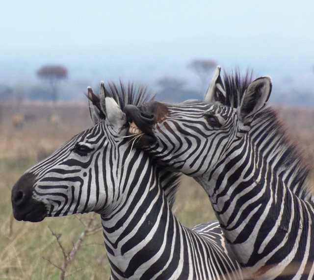 Zebra on chitchat