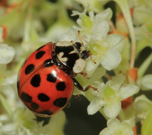 Harlequin Ladybird 3776